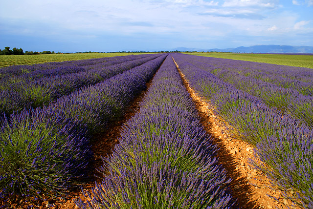 Im Lavendel